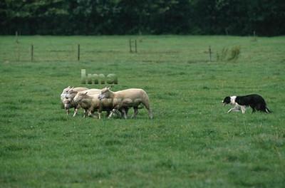 Shepherd herder Berger