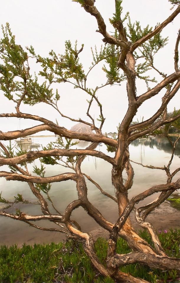 Old Locust Tree