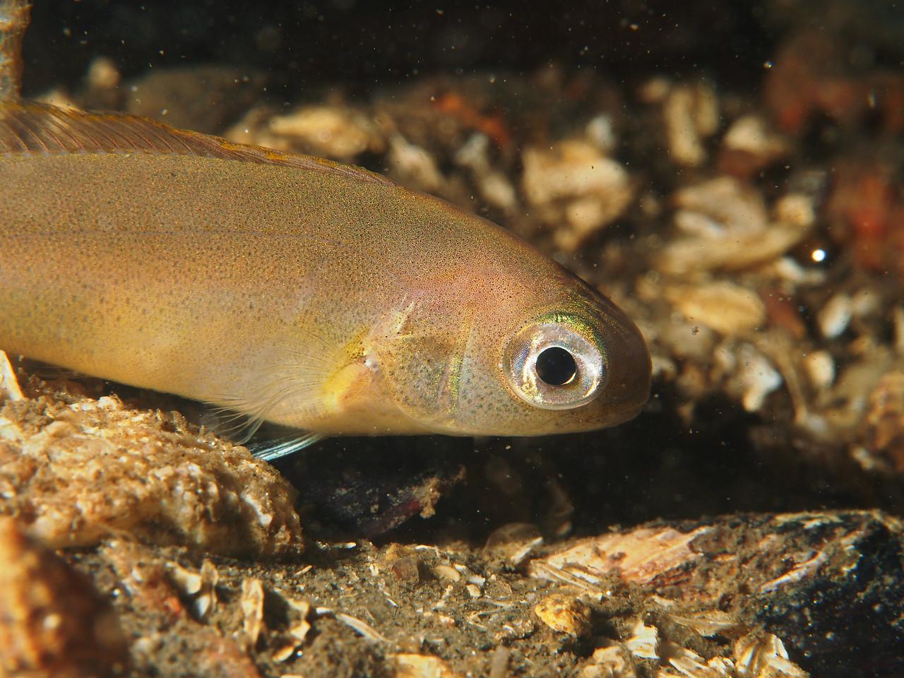Caulolatilus princeps (ocean whitefish)