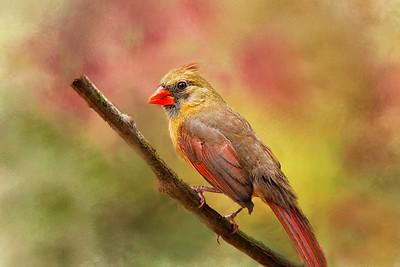 (C197) Cardinal