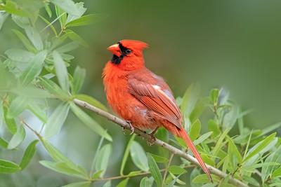 (CA2) Male Cardinal
