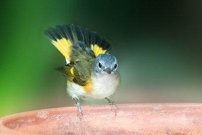 First Year Male American Redstart