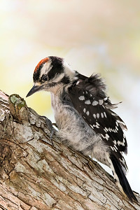 Downy Woodpecker at Sanford's River Walk.