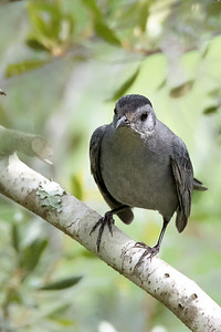 Catbird in Central Florida