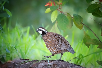 Male Bobwhite Quail in my yard