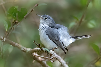 Blue-Gray Gnatcatcher in my FL yard
