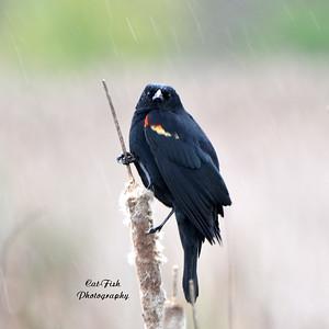 Red Winged Blackbird in the Rain