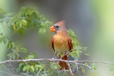 (CA1) Female Cardinal