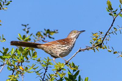 Brown Thrasher in Central Florida