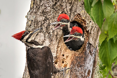 (WP4) Pileated Woodpeckers