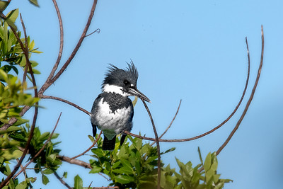 Male Belted Kingfisher in Central Florida