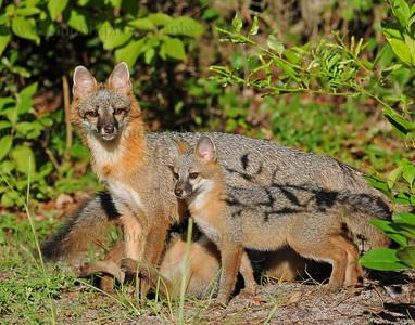 Fox Family-DSC_0060