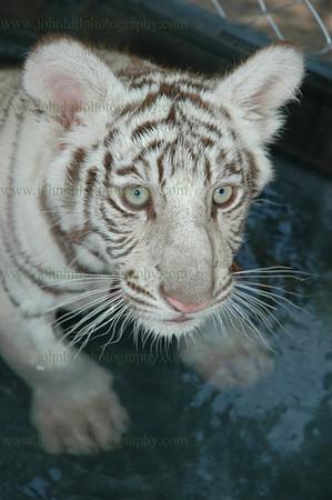 DSC_0044-tiger