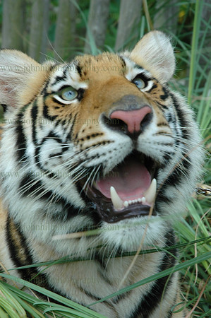 DSC_0029-u-cu-cl-tiger