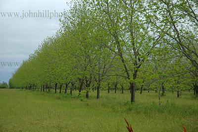 pecan trees-h-cur