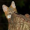Baby Fox learning to climb-DSC_0383