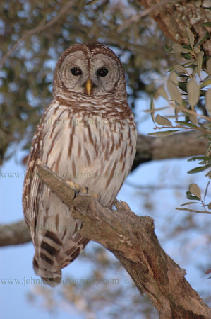 DSC_0007-owl