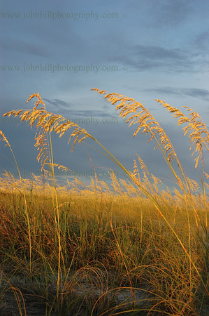 DSC_0014-cur-u-golden sea oats