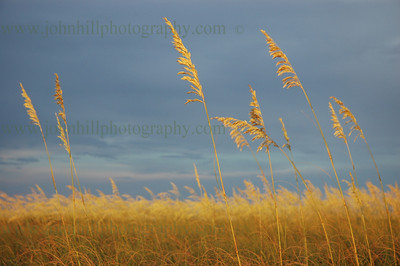 DSC_0013-golden sea oats