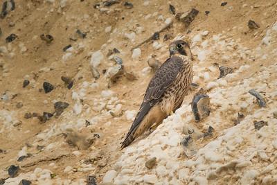 Juvenile Peregrine Falcon