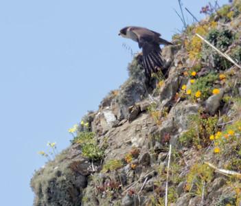Peregrine Falcon at Pacifica