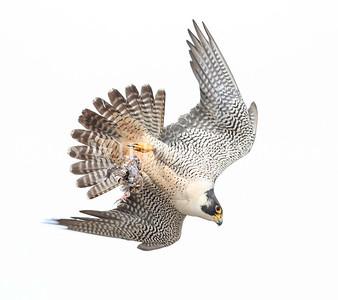 Peregrine Falcon Delivering Dinner