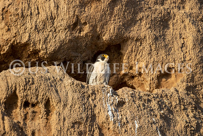Peregrine Falcon in Nest Site