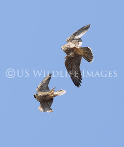 Fledgling Combat  When they are young the newly fledged Peregrine Falcon practice ACM (Aerial Combat Maneuvers) with each other.