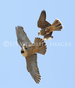 The Falcon (Female Peregrine) exchanges prey with one of the Fledglings.  Dinner tonight is a Red-necked Phalarope.