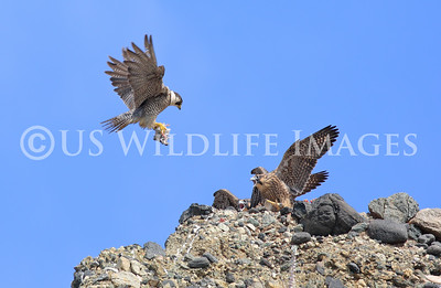 The Falcon hovers over her fledglings to get them to go after the prey.
