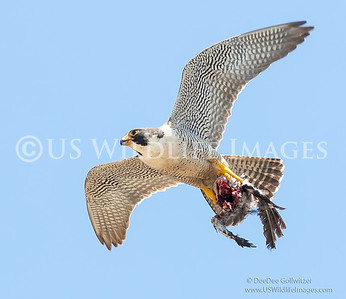Female Peregrine Falcon with a Crow