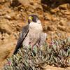Peregrine Falcon in Ice Plant