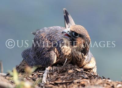 Peregrine Falcon on Ledge