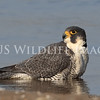 Peregrine Falcons : Peregrine Falcons (Falco peregrinus)