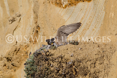 Peregrine Falcon Eating Her Prey