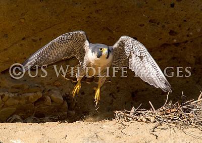 Peregrine Falcon Launch