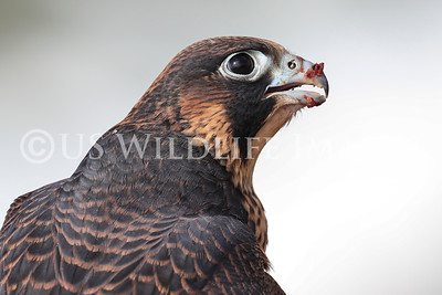Juvenile Peregrine Falcon Up Close