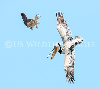 Peregrine Falcon Dives on Pelican