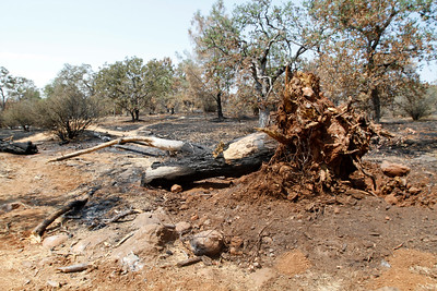 Though it caused many groans of frustration in the middle of the fairway at hole No. 1, the burnt tree ripped from the ground is sure to be lamented by those who love the Peregrine Point Disc Golf Course. The course, charred by the Stoeny Fire, is seen Tuesday, Aug. 14, 2018, in Chico, California. (Dan Reidel -- Enterprise-Record)