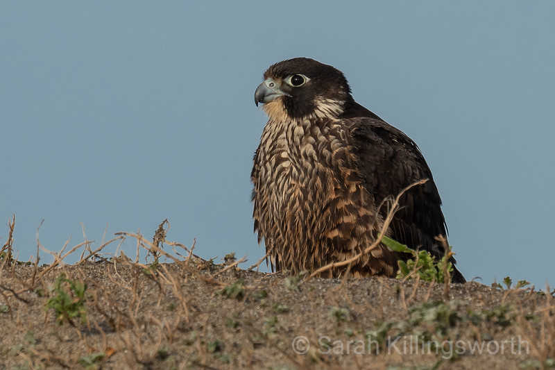 falcon on the dunes