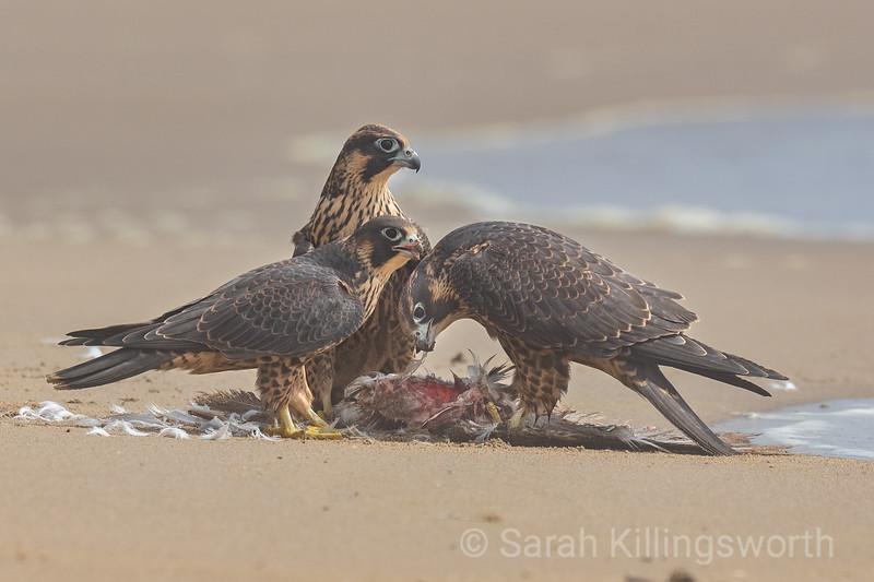 fledgling feast