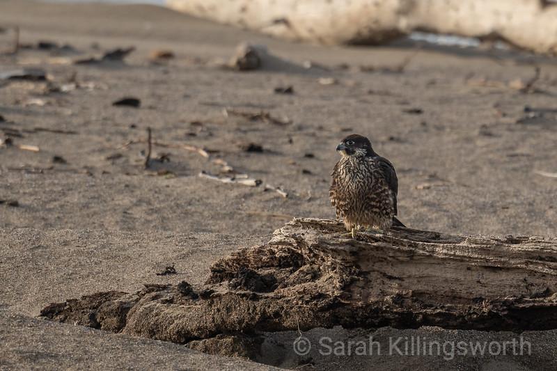 hunting shorebirds