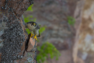 Adult Female Peregrine