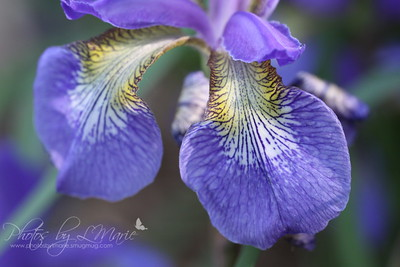 Beauty Within the Iris