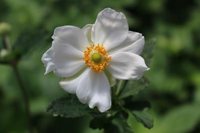 Anemone x hybrdida 'Honorine Jobert' (white)