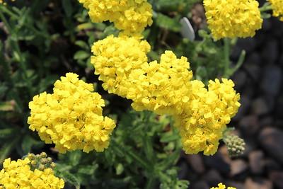 Achillea m  'Desert Eve Yellow'