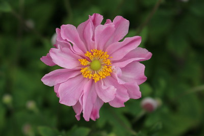 Anemone x hybrida Fantasy 'Pocahontas' (pink)