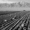 Ansel Adams, Potato Field from Photographs of Japanese-American Relocation Camp in Manzanar, California, neg 1943, printed 1984, gelatin silver print mounted to board, 11 x 14 in., Addison Gallery of American Art, Phillips Academy, Andover, MA, purchased as the gift of Sidney R. Knafel (PA 1948), 2015.10.38