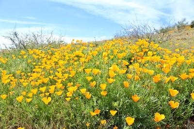 Spring wildflowers on Peridot Mesa (2020)
