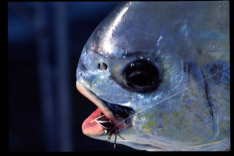 Merkin Crab and Permit Belize Fly Fishing